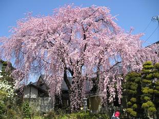 信州 黄梅院の桜